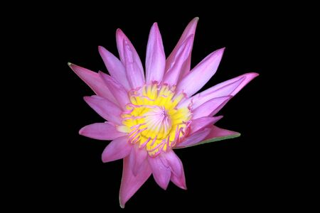 purple water lily on dark blackground photo
