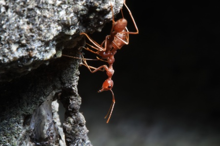 red ant: the ants walking on ground with little rock