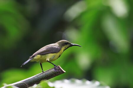 A yellow sunbird pose on a branch photo