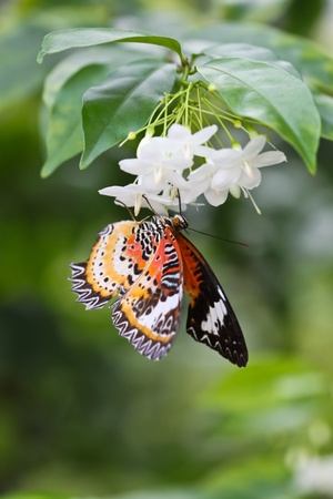 a butterfly is sitting on jasmine flower