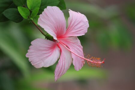 hibiscus flower on the blur green leaves photo