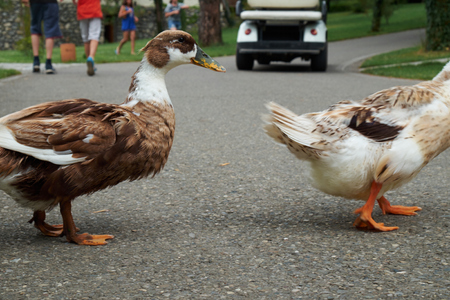 animal body part: Two ducks crossing the road with people in the background Stock Photo