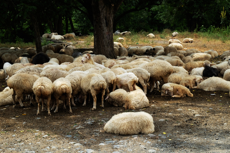 escaping: Flock of sheep escaping summer heat under trees, Georgia Stock Photo