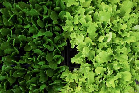 Closeup of green fresh salad leaves
