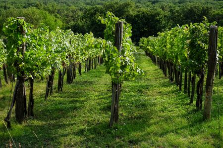 Rows of growing green wine grapes in spring Stock fotó