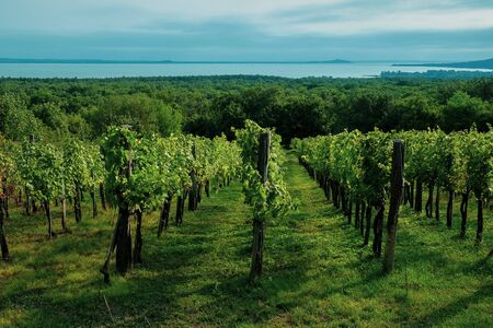 View of the Lake Balaton with growing wine grapes in summer