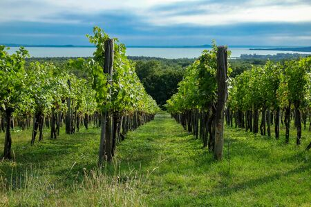 Rows of green wine grapes with lake and sky view
