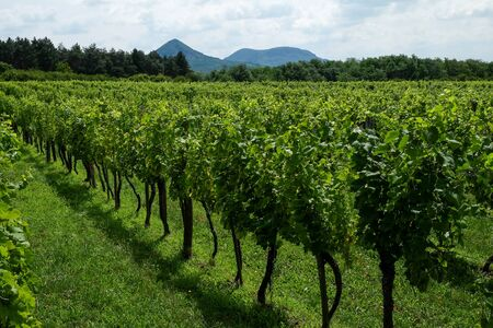 Rows of green wine grapes with sky and mountain view in summer