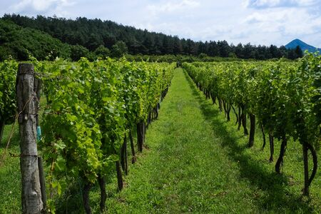 Rows of green wine grapes with sky and forest  view in summer Stock fotó