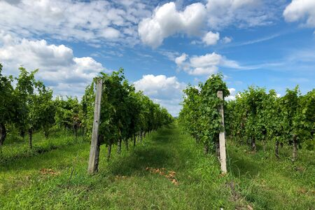 Rows of green wine grapes with sky view in summer Stock fotó