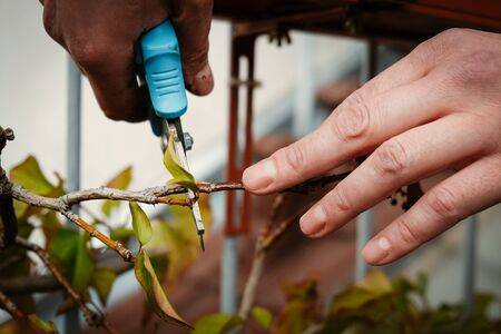 Hands cutting twigs with shears