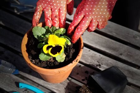 Hands in red garden gloves planting the pansy flower in a pot