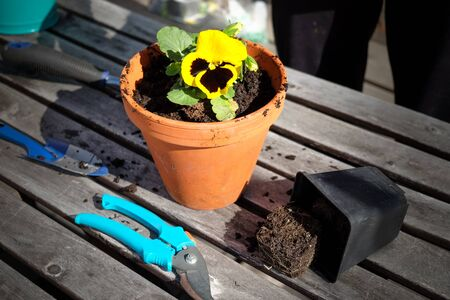 Planting the yellow pansy flower into clay pot