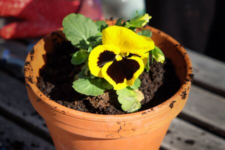 Pansy flower in the clay pot with garden gloves in the background