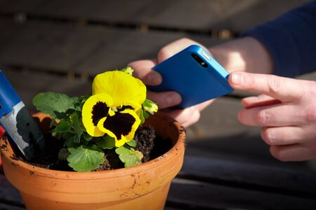 Hands taking photo of yellow  flower with a smartphone
