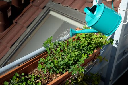 Watering green plants in the roof garden with blue watering can Stock fotó