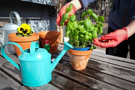 Hands in garden gloves, basil plant and blue watering can
