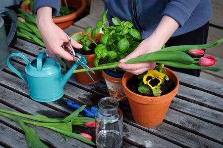 Hands cutting tulips on the table with garden tools and vase