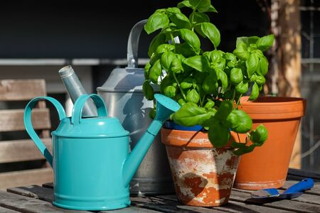 Front view of basil plant in the sun with gardening tools Stock fotó