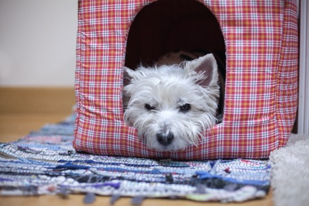 West highland white terrier in her house Stock Photo