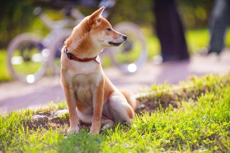 obediencia: Un joven shiba inu se sienta en el parque