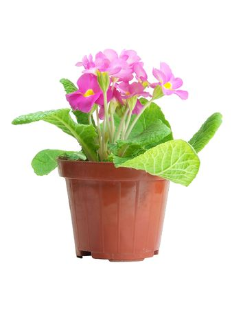 Pink Primrose In A Pot Isolated Over White photo