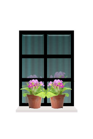 window sill: Springtime window with  two potted primroses on the sill