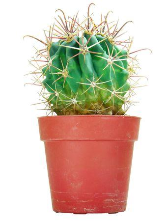 Potted globe cactus isolated over white  photo