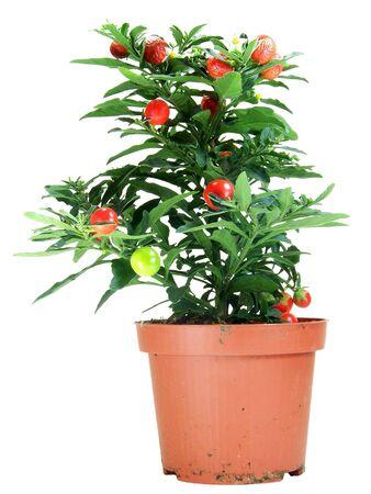 tomate cherry: Solanum maceta Capsicastrum aislado m�s de fondo blanco