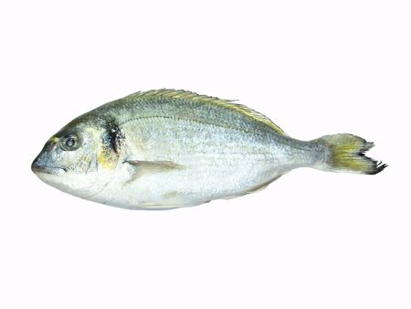 gilthead: Gilthead isolated over white background