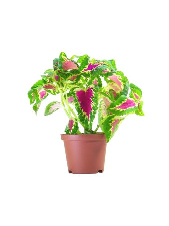 Coleus Blumei in a pot isolated over white background