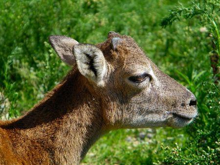 Cub of Ovis Orientalis Musimon (Muflone Sardo) Stock Photo - 5656053