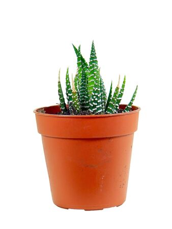Potted green cactus isolated over white background photo