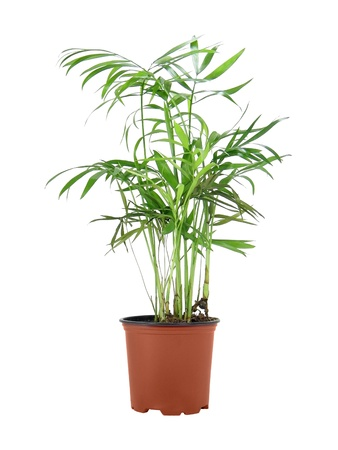 Potted Kentia (Howea Forsteriana) isolated over white background Stock Photo