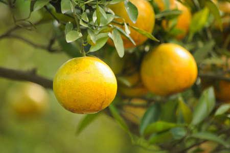 citricos: naranjas sobre un �rbol  Foto de archivo