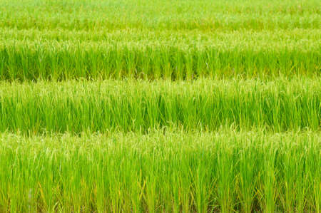 grain fields: Green rice field in Thailand Stock Photo