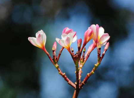 Plumeria (frangipani) Stock Photo - 8535144