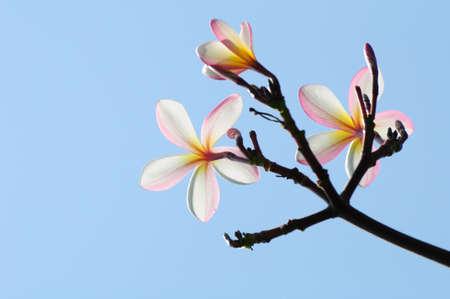 beautiful pink plumeria on tree Stock Photo - 8570030