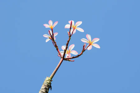 beautiful pink plumeria on tree Stock Photo - 8570050