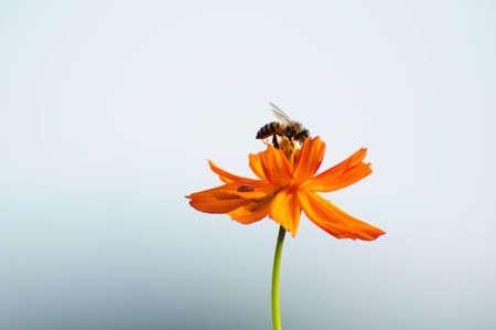 abeja: abeja y flor