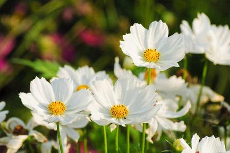 weiße Kosmos Blume Standard-Bild