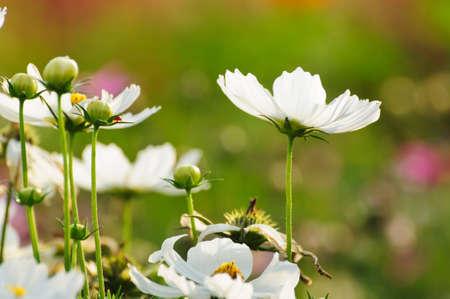 white cosmos flower