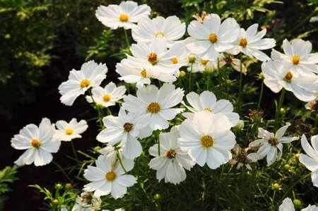 Cosmo bianco fiore Archivio Fotografico