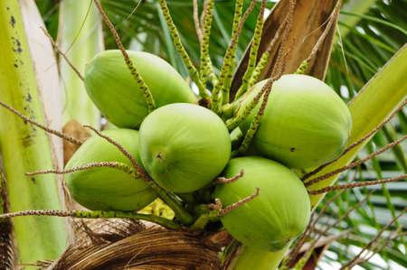 with coconut: Green coconut at tree