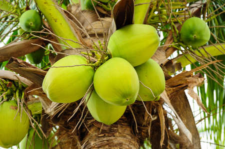 Cocco verde Tree