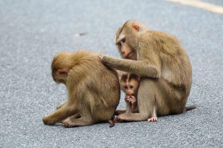yai: Famiglia di scimmia al parco nazionale di Khao Yai, Thailandia