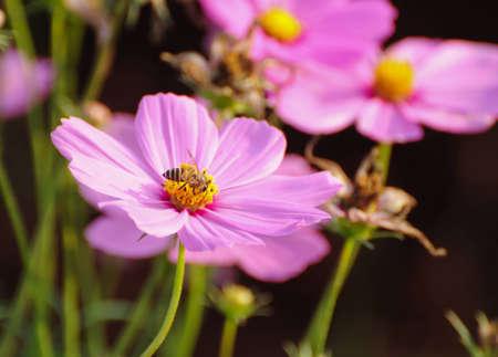 Cosmo fiori