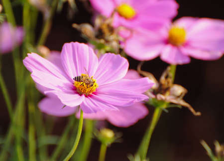 up close image: Cosmos Flowers
