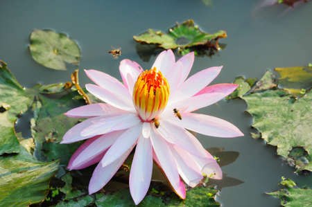 bees and pink lotus flower photo