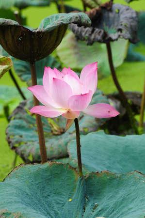 blooming of pink lotus flower photo